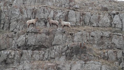 3 Rocky mountain bighorn sheep on the edge of a cliff as they crack heads together.