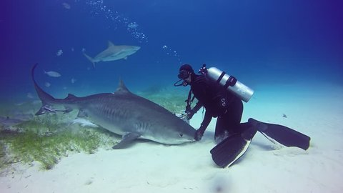 Bull Shark with divers underwater on sand of Tiger Beach Bahamas. Dangerous predator Carcharhinus leucas in pure blue water of Atlantic Ocean.