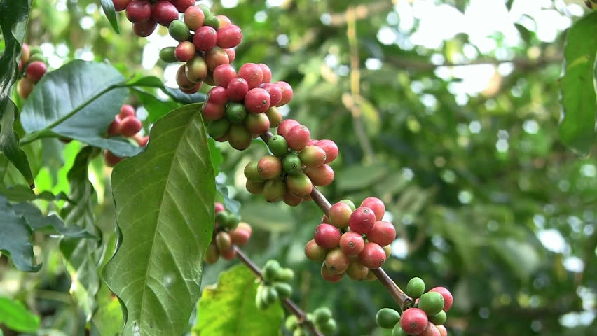 Coffee cherries (beans) ripening on a coffea tree branch (zoom in)