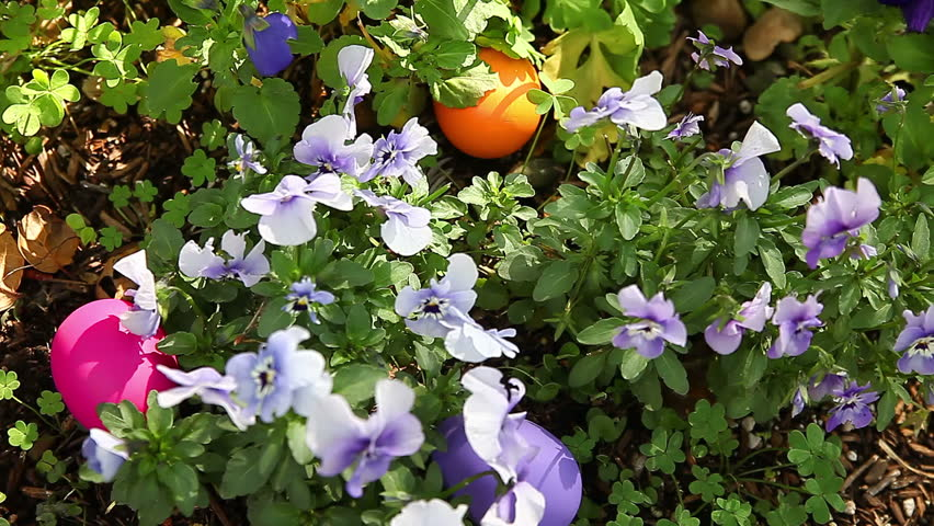 Colorful Easter eggs hidden among viola flowers and foliage