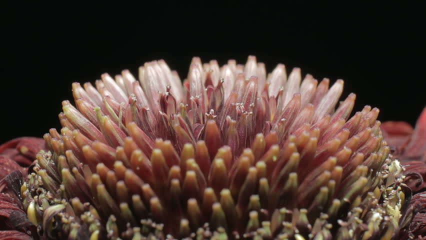 Close up motion time lapse shot of the details in the inner disk florets and middle ring trans florets during the blooming and wilting of a red Gerbera daisy flower. | Shutterstock HD Video #33703276