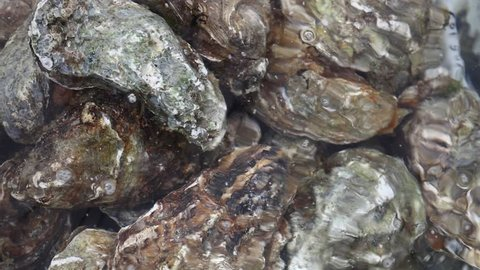 Close up group of several big fresh oysters in running clear water, elevated high angle view