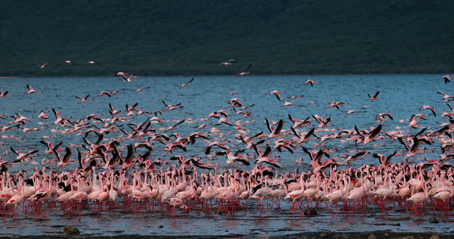 Lesser Flamingo, phoenicopterus minor, Group in Flight, Taking off from Water, Colony at Bogoria Lake in Kenya, Slow Motion 4K