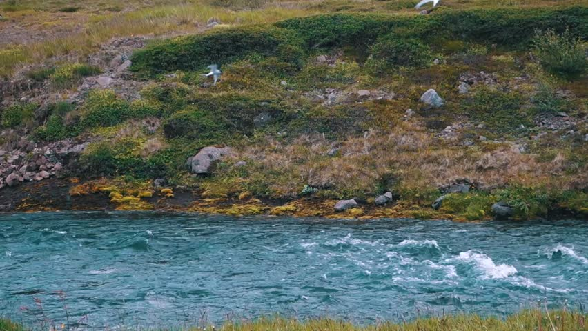Beautiful arctic terns flying along a brook in Iceland.