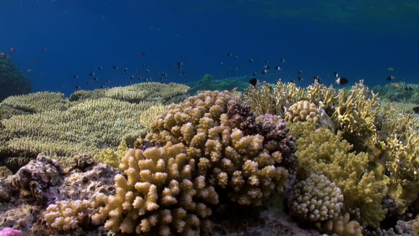 Header of Acropora cytherea