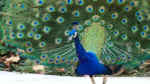 4K video of peacock showing its fan towards female peacock and dancing at Los Angeles