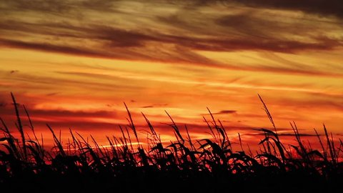 Loop features a vividly colorful sunset sky of orange and yellow gold silhouetting a foreground cornfield with stalks swaying in the autumn breeze. Shot in 1920x1080p HD widescreen.
