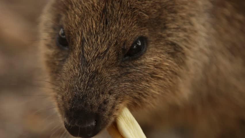 Cute marsupial quokka aka the happiest animal on earth on Rottnest Island Australia