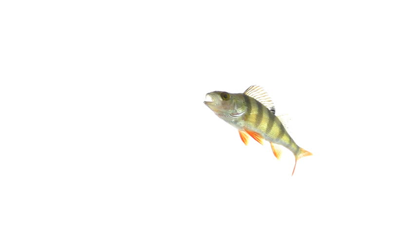 Fish under water, isolated on white background | Shutterstock HD Video #33866326
