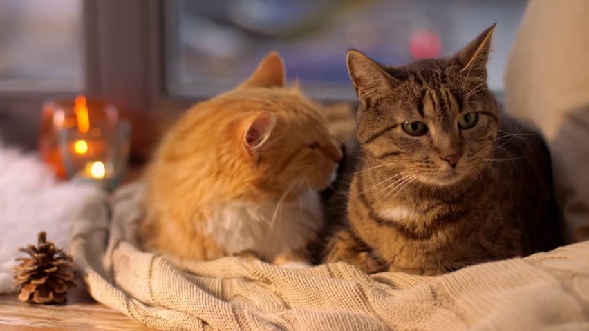 pets, christmas and domestic animal concept - two cats lying on blanket with tealights and pinecone at home window sill