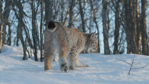 eurasian lynx walking snow covered ground rear view