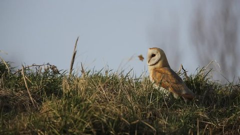 A stunning Barn Owl (Tyto alba) perched on the grass. It has been hunting for Vole to eat.