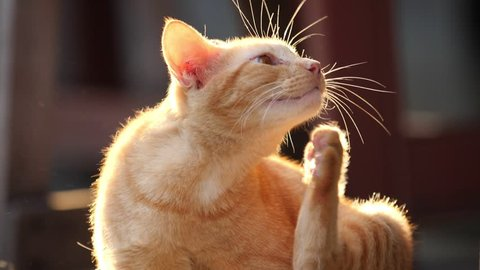 Adorable cat scratching itself on beautiful sunlight before sunset, Allergies to pets with fur concept, slow motion.