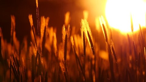 Sunset behind the silhouette of a corn field. Wheat swaying in a gentle breeze. Wheat at sunset. Cornfileld in the beautiful late evening sunshine.  Crop of Cereals . Wheat Harvest. Ears of wheat