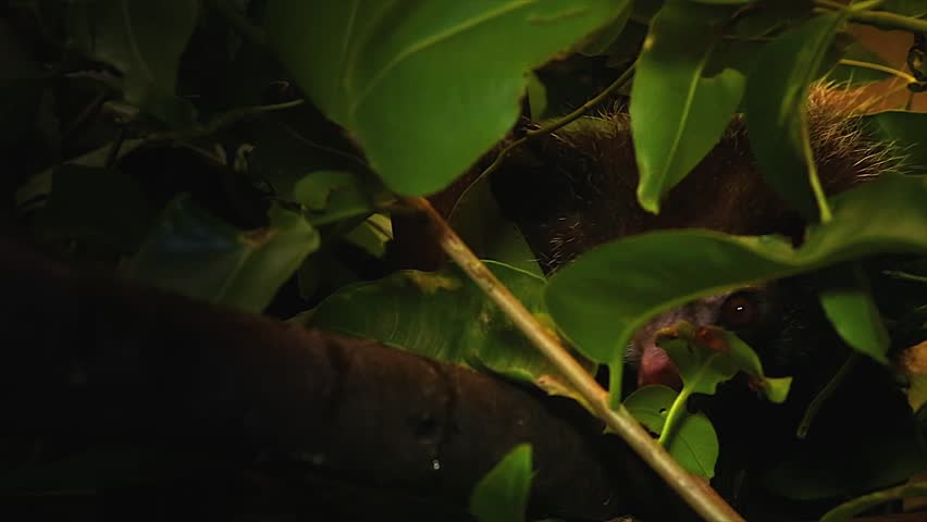Very rare Aye-aye looking out while hidden behind leaves in a tree in the wilds of Madagascar. This is one of the most elusive nocturnal lemurs. Footage is extremely rare.