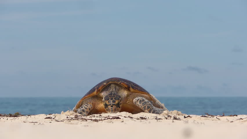 Turtle on her way to lay eggs