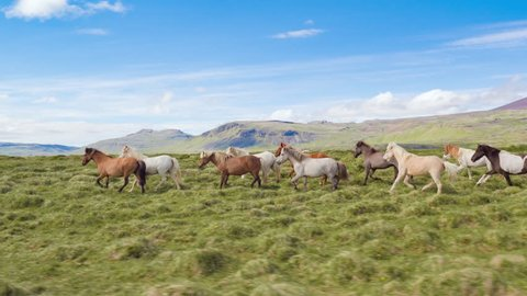 Epic Aerial Over Wild Horses Running Slow Motion Through Meadow Golden Hour Horse Breeding Ecology Exploration