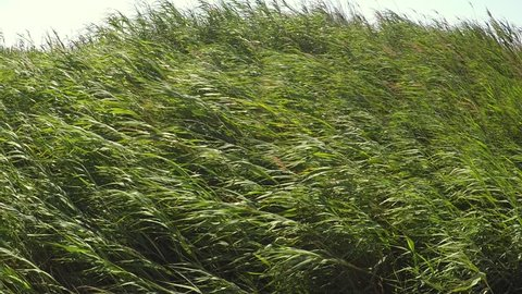 wind moving bamboo plats rushes