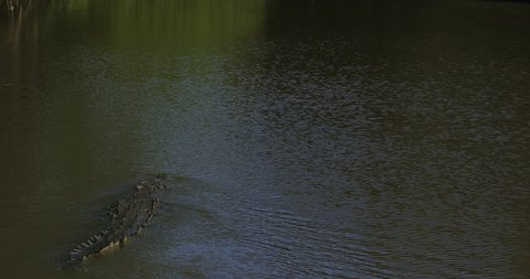 Yacare Caiman, gold crocodile in the dark water surface with evening sun, nature river habitat,  Pantanal, Brazil. Wildlife scene from nature.