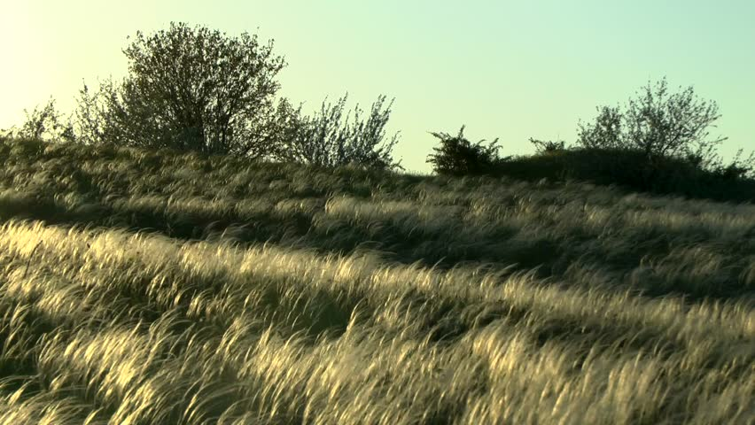 Plant feather grass (Stipa sp.) in the steppe at sunset.