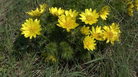 Spring: flowering bush of spring adonis (Adonis vernalis).