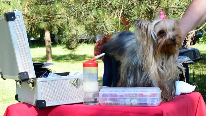 Beautiful Terrier Grooming Before The Stock Footage Video 100