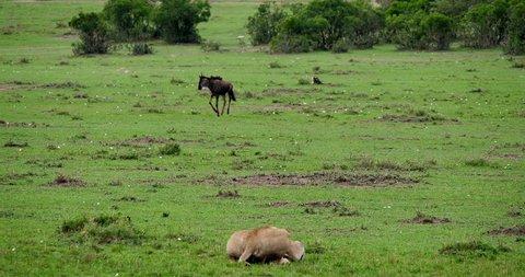 African Lion, panthera leo, Female hunting Wildebest, Masai Mara Park in Kenya, Real Time 4K