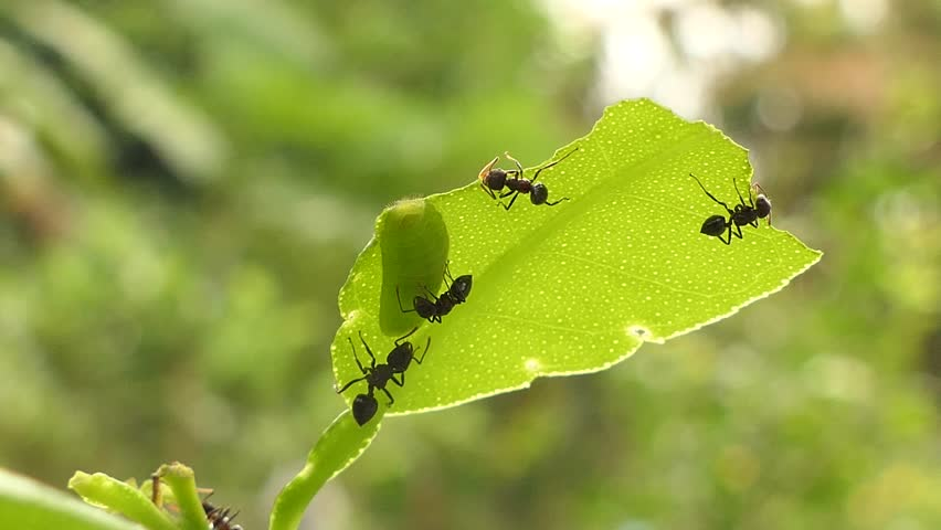Black ants work on leaf, 4k video