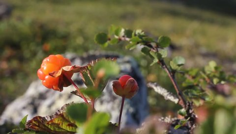 cloudberry in mountain landscape