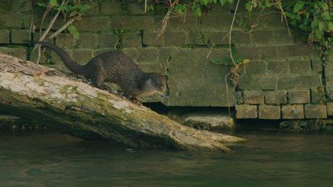 Eurasian Otter on Log