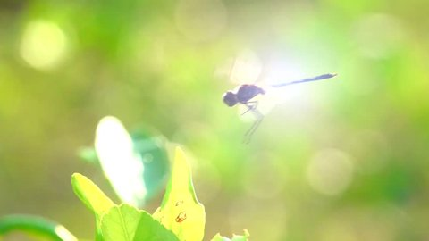 Dragonfly flying on flower. Dragonfly slow motion flying catching on top tree on light of sun. Adult dragonflies are characterized by large multifaceted eyes two pairs of strong  transparent wings.