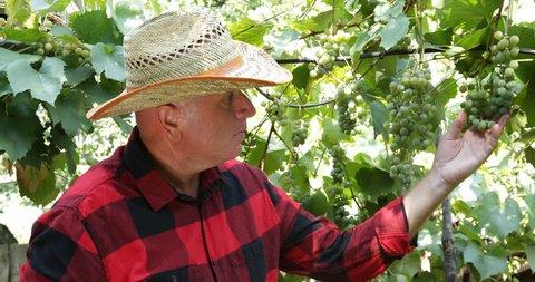 Winemaker Vineyard Farmer Checking Wine Grape Vines Producer Vintner Man Examine