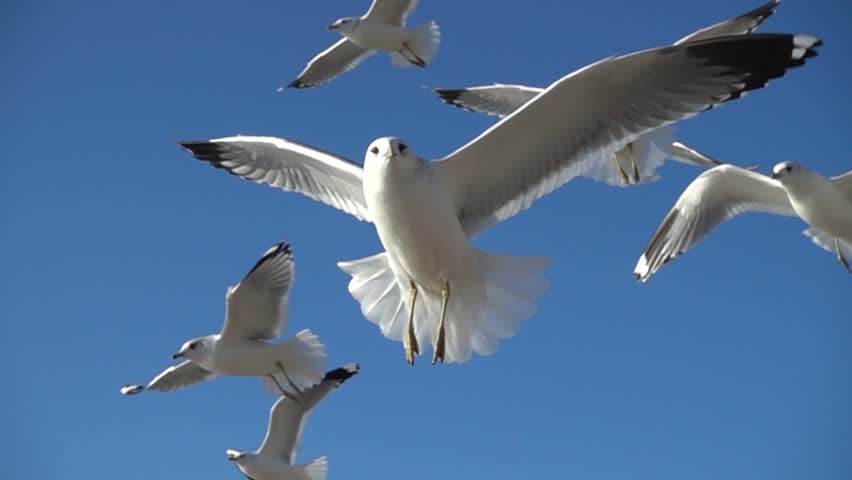 Seagulls in the sky. Slow motion. 480 fps. | Shutterstock HD Video #34331836