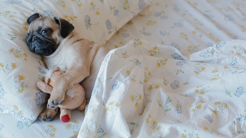 Cute puppy the pug sleeping in the bed covered with blanket and embracing plush toy.