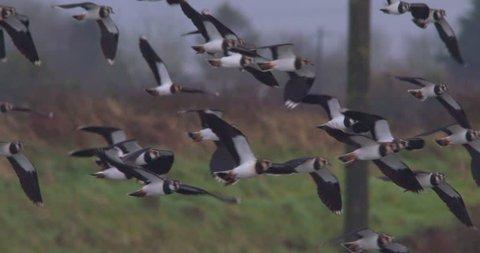 Lapwing bird flock in flight close up slow motion