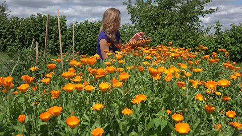 blond herbalist peasant woman harvest pick marigold calendula herb flower blooms to wicker dish. Natural plants grow in farm plantation. Alternative medicine. Focus change shot. 4K