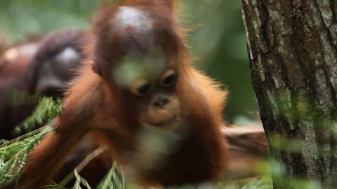 Baby Orangutan Monkey, Looking, Jungle Trees, Palm Tree, Cubs Climbing
