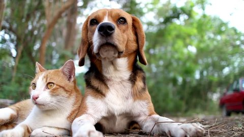A cute beagle dog and a brown cat  sitting together a warm close moment in the yard.