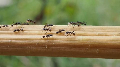 black ants carry food to nest , ants good teamwork , slow speed
