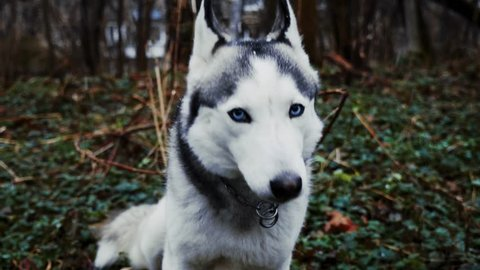 Happy snowy husky is licking up