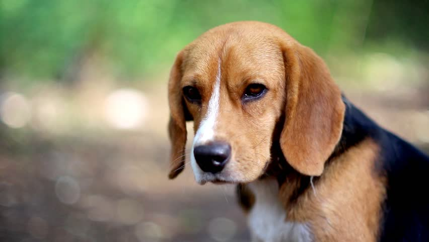 Simple Video Beagle Adorable Dog - 1  Photograph_311310  .resize(height:160)