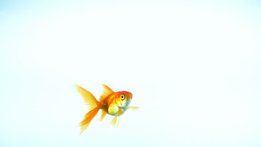 A symbol of wealth and human prosperity, to catch a goldfish | Shutterstock HD Video #34860736