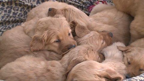 Golden Retriever puppies snuggling in bed
