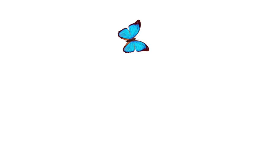 1080 HD Animated Butterfly With Alpha Matte. Stock Footage ...