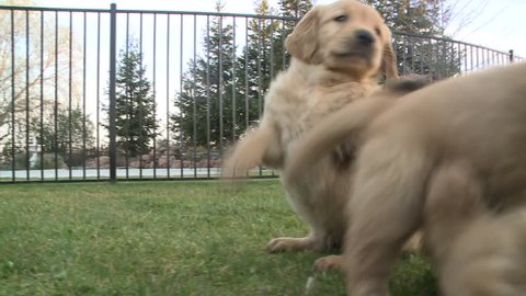 5 week old golden retriever puppies playing with each other on the lawn