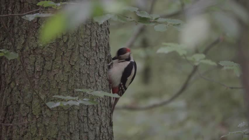 The woodpecker hits a tree and eats insects