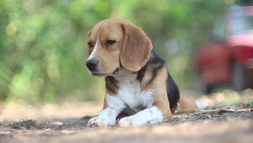 Amazing Video Beagle Adorable Dog - 1  Pictures_924753  .resize(height:160)