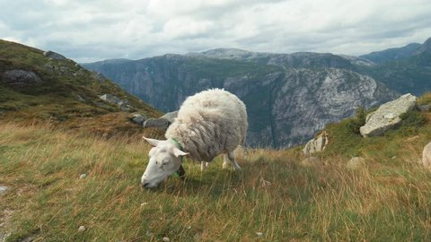 Amazing Norwegian landscape. Single sheep graze on beautiful yellow green field, meadow, on hill. Typical Nordic wind and overcast. Long Shot. Curly white cute lamb. Sheep eat grass on top of mountain