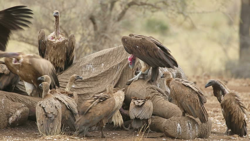 White-backed and lappet-faced vultures scavenging on a dead elephant, Kruger National Park, South Africa