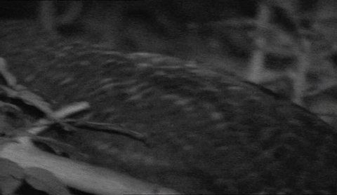 infrared black and white kakapo at night time